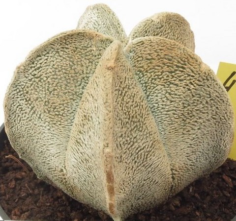 astrophytum coahuliense